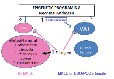 Gonadal steroids like contribute to sex differences in fat distribution in males and females through epigenetic effects and direct actions on adipose tissue growth, inflammation, metabolic and endocrine functions.
